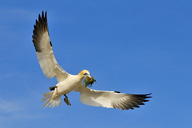 Northern Gannet (Morus bassanus) flying with nesting material, Saltee Island, Ireland  -  Jasper Doest