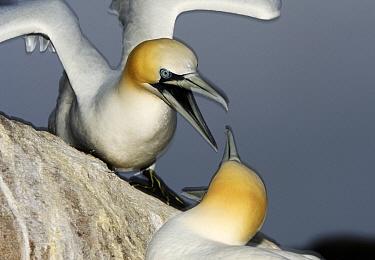 Northern Gannet (Morus bassanus) pair in territorial display, Saltee Island, Ireland  -  Jasper Doest