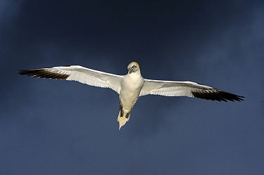 Northern Gannet (Morus bassanus) flying, Saltee Island, Ireland  -  Jasper Doest