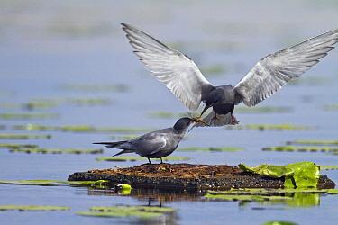 Black Tern (Chlidonias niger) pair in courtship display, Friesland, Netherlands  -  Henny Brandsma/ Buiten-beeld
