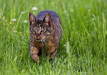 Domestic Cat (Felis catus) walking  -  Karin Broekhuijsen/ Buiten-beeld