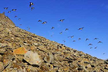 Little Auk (Alle alle) flock flying, Svarlbard, Norway  -  Jasper Doest
