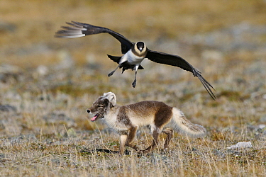 Arctic Fox (Alopex lagopus) being attacked by Arctic Skua (Stercorarius, Svalbard, Norway parasiticus)  -  Jasper Doest