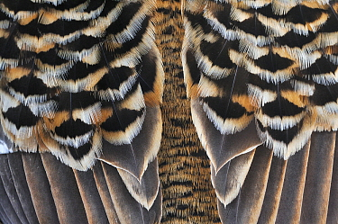 Common Eider (Somateria mollissima) close up of feathers, Svalbard, Norway  -  Jasper Doest