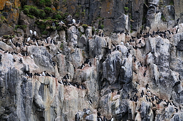 Brunnich's Guillemot (Uria lomvia) colony with whitewash of guano, Svarlbard, Norway  -  Jasper Doest