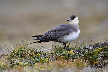 Arctic Skua (Stercorarius parasiticus), Svalbard, Norway  -  Jasper Doest