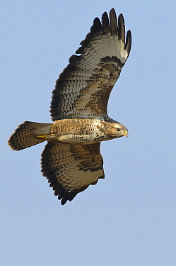 Common Buzzard (Buteo buteo) flying, Europe  -  Willi Rolfes/ NIS