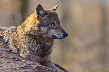 Gray Wolf (Canis lupus), Europe  -  Willi Rolfes/ NIS