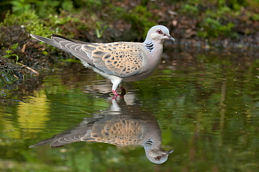 European Turtle-Dove (Streptopelia turtur) at edge of pond, Netherlands  -  Ruurd Jelle van der Leij/ Buiten-beeld