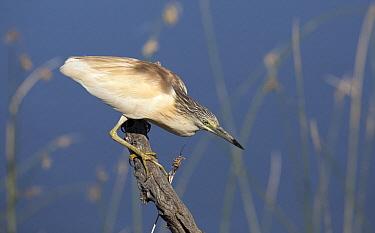 Squacco Heron (Ardeola ralloides) hunting, Europe  -  Michiel Vaartjes/ NiS
