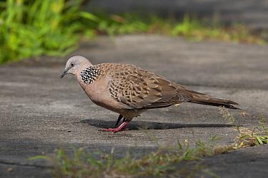 Spotted Dove (Spilopelia chinensis) foraging, Europe  -  Michiel Vaartjes/ NiS