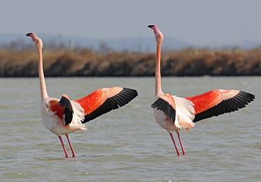 European Flamingo (Phoenicopterus roseus) in courtship dance, Camargue, France  -  Ruurd Jelle van der Leij/ Buiten-beeld
