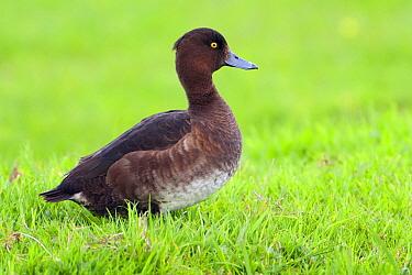 Tufted Duck (Aythya fuligula) female, Europe  -  Marcel van Kammen/ NiS