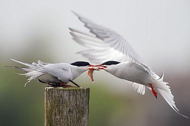Common Tern (Sterna hirundo) male feeding fish to female, Europe  -  Marcel van Kammen/ NiS