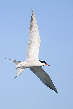 Common Tern (Sterna hirundo) flying, Europe  -  Marcel van Kammen/ NiS