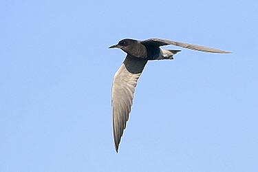Black Tern (Chlidonias niger) flying, Europe  -  Marcel van Kammen/ NiS