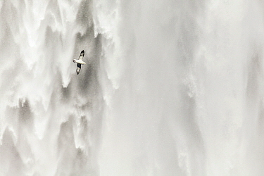 Northern Fulmar (Fulmarus glacialis) flying in front of waterfall, Skogarfoss Waterfall, Iceland  -  Bart Heirweg/ Buiten-beeld