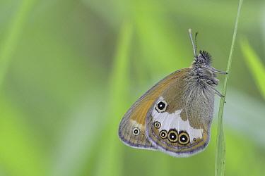 Pearly Heath (Coenonympha arcania) butterfly, Europe  -  Bart Heirweg/ Buiten-beeld