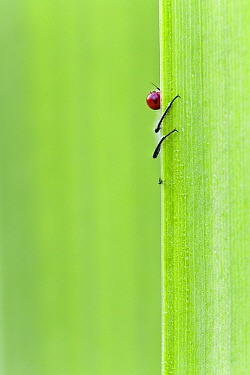 Red-eyed Damselfly (Erythromma najas) peeking around bland of grass, Europe  -  Bart Heirweg/ Buiten-beeld