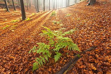 Beech (Fagus sp) forest in autumn with fern, Belgium  -  Bart Heirweg/ Buiten-beeld