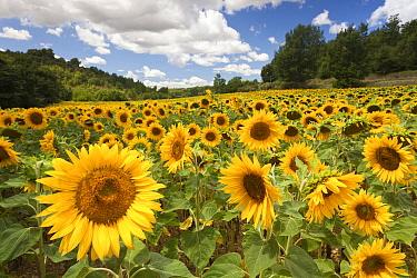 Common Sunflower (Helianthus annuus) field, Provence, France  -  Bart Heirweg/ Buiten-beeld