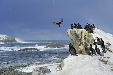 European Shag (Phalacrocorax aristotelis) flock at shore, Europe  -  Philip Friskorn/ NiS
