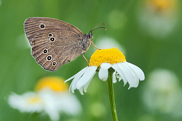 Ringlet (Aphantopus hyperantus) butterfly on Marguerite (Leucanthemum vulgare), Europe  -  Marcel van Kammen/ NiS