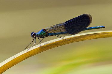 Banded Demoiselle (Calopteryx splendens) damselfly male, Europe  -  Marcel van Kammen/ NiS