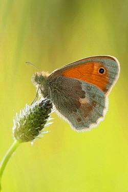 Small Heath (Coenonympha pamphilus) butterfly, Europe  -  Marcel van Kammen/ NiS