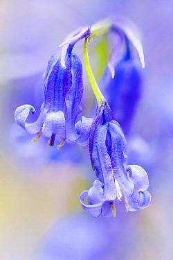 English Bluebell (Hyacinthoides nonscripta) flowers, Netherlands  -  Bart Heirweg/ Buiten-beeld