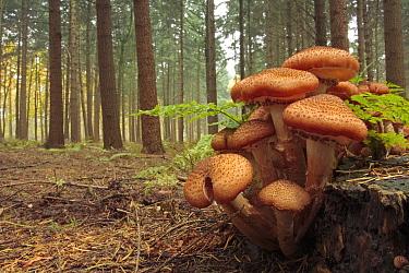 Honey Fungus (Armillaria sp) group in forest, Belgium  -  Bart Heirweg/ Buiten-beeld