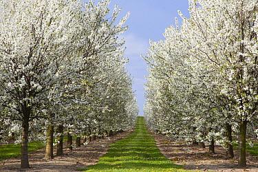 Cherry (Prunus sp) trees flowering, Belgium  -  Bart Heirweg/ Buiten-beeld