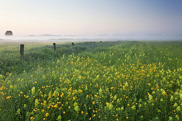 Buttercup (Ranunculus sp) and Greater Yellowrattle (Rhinanthus angustifolius) flowering in pasture, Belgium  -  Bart Heirweg/ Buiten-beeld