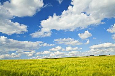 Barley (Hordeum sp) field, Belgium  -  Bart Heirweg/ Buiten-beeld