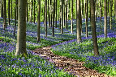 Beech (Fagus sp) trees and English Bluebells (Hyacinthoides nonscripta) in forest, Belgium  -  Bart Heirweg/ Buiten-beeld