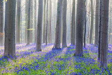 Beech (Fagus sp) trees, Belgium  -  Bart Heirweg/ Buiten-beeld