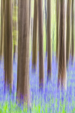 Forest with wildflowers, Hallerbos, Belgium  -  Bart Heirweg/ Buiten-beeld