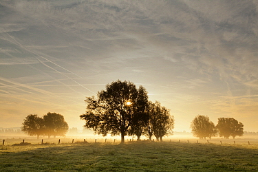 Willow (Salix sp) trees at sunrise, Belgium  -  Bart Heirweg/ Buiten-beeld