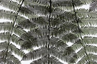 Fern fronds, Bellavista Cloud Forest Reserve, Ecuador  -  Bart Heirweg/ Buiten-beeld