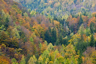 Trees in fall, Triglav National Park, Slovenia  -  Bart Heirweg/ Buiten-beeld