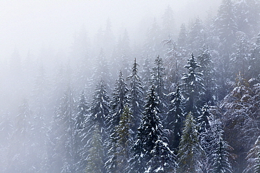 Pine (Pinus sp) forest in winter, Triglav National Park, Slovenia  -  Bart Heirweg/ Buiten-beeld