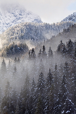 Pine (Pinus sp) forests covering mountains, Triglav National Park, Slovenia  -  Bart Heirweg/ Buiten-beeld
