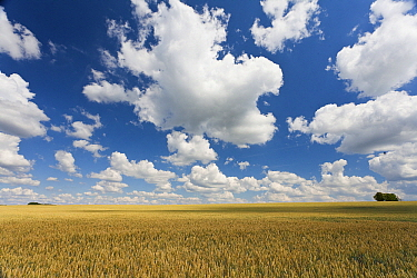 Wheat (Triticum sp) field, Schorisse, Belgium  -  Bart Heirweg/ Buiten-beeld