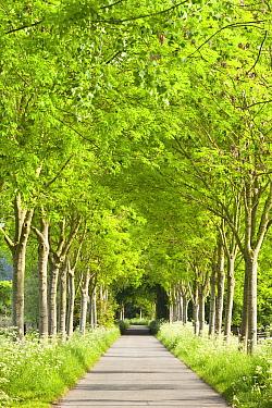 Trees along path in spring, Zingem, Belgium  -  Bart Heirweg/ Buiten-beeld