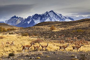 Guanaco (Lama guanicoe) herd in grassland, Torres del Paine National Park, Patagonia, Chile  -  Chris Stenger/ Buiten-beeld