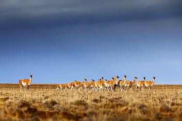 Guanaco (Lama guanicoe) herd, Torres del Paine National Park, Patagonia, Chile  -  Chris Stenger/ Buiten-beeld