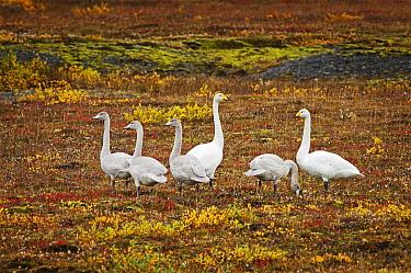 Whooper Swan (Cygnus cygnus) parents with cygnets, Iceland  -  Chris Stenger/ Buiten-beeld