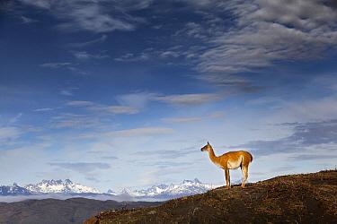 Guanaco (Lama guanicoe) individual, Torres del Paine National Park, Patagonia, Chile  -  Chris Stenger/ Buiten-beeld