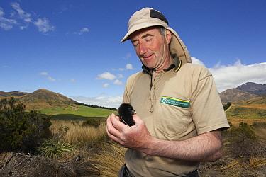 Takahe (Porphyrio mantelli) chick being held by researcher, Burwood Breeding Center, New Zealanad  -  Stephen Belcher