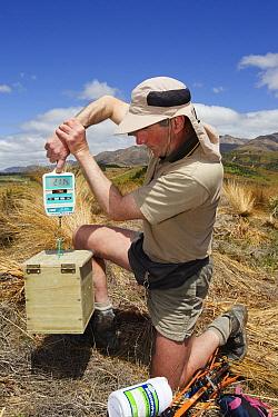 Takahe (Porphyrio mantelli) chick being weighed by researcher, Burwood Breeding Center, New Zealanad  -  Stephen Belcher